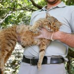 'Cat-fox' found on French island of Corsica may be a new species
