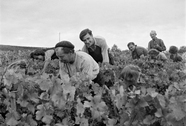 Vendange: What you really sign up for when you agree to help with the French wine harvest