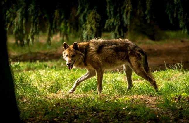 Were campers really attacked by wolves in a French national park?