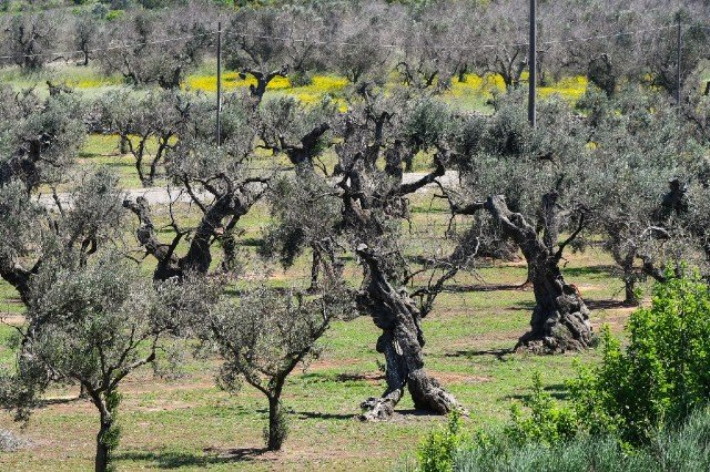 Deadly disease has spread to olive trees in France
