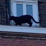 France's mystery rooftop panther stolen from zoo