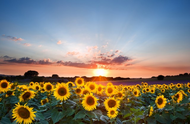 My secret France: Sunflowers, fig trees and renovation rows in northern Charente