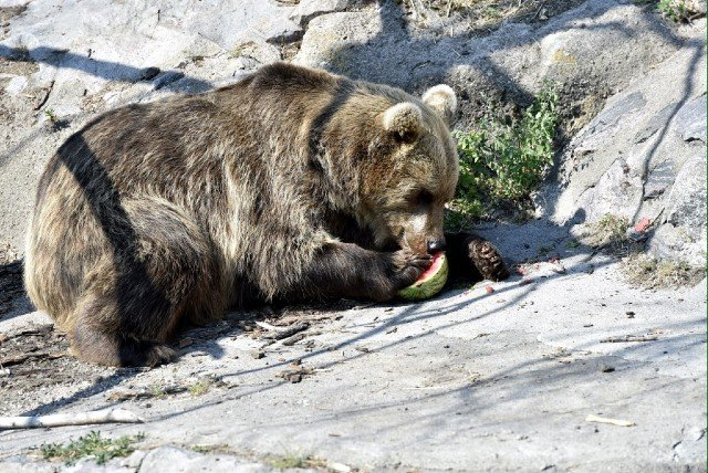 Mischa the bear dies after rescue from 'cruel' animal show in France