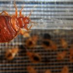 'You're better off sleeping in your car': How Paris is plagued by scourge of bed bugs