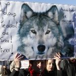 France's wolf population rises once again