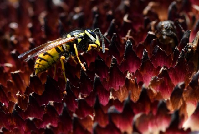 Why this summer in France is perfect – for wasps