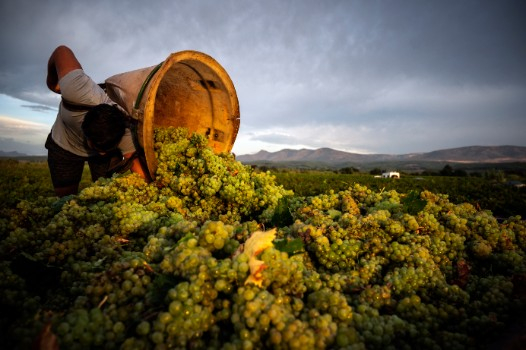 How climate change is souring French winemakers' 2020 harvest