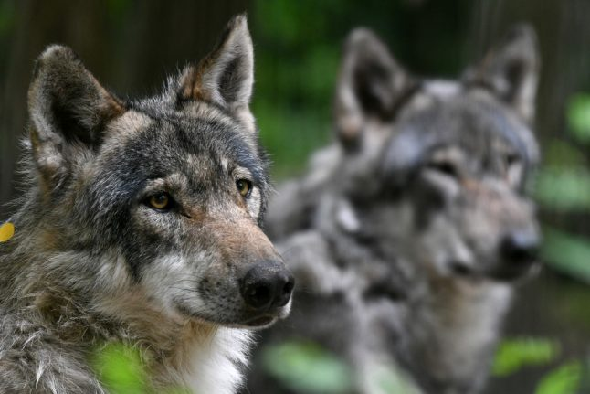 Wolves missing from French wildlife park after floods destroyed their enclosure