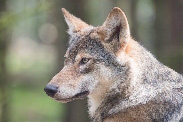 'Speak of the devil' – Why are there so many wolves in the French language?