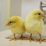 France pledges to end chick culling in 2022