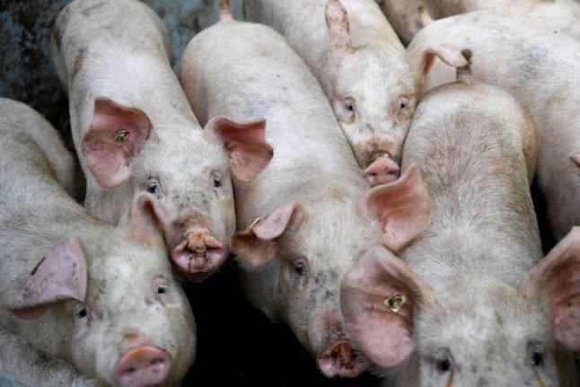 French agriculture minister condemns 'cruel practices' after shocking video from intensive pig farm