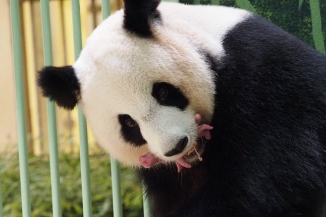 IN PICTURES: Panda in French zoo gives birth to twins