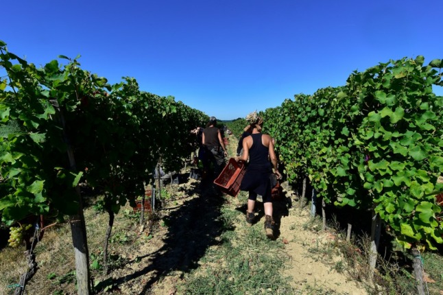 Workers at French vineyards harvest the grapes